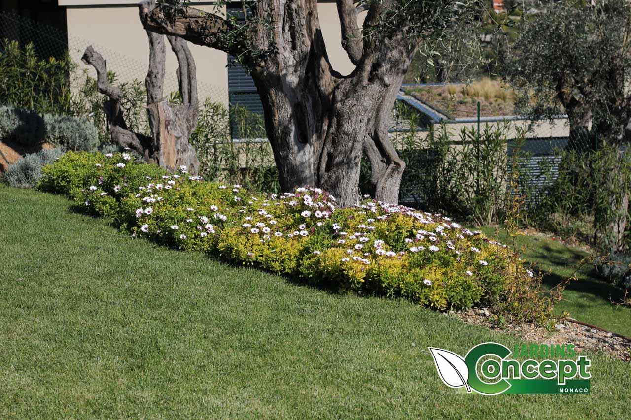 Des massifs fleuris au pieds d'un olivier